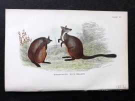 Lydekker & Allen - Australia 1894 Antique Print. Brush-Tailed Rock Wallaby.